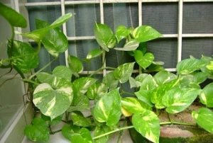 Vastu Tips: Use of Money Plants in Wealth Growth and Astrology
