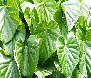 Treatment of Dengue - Miraculous Herb - Giloy